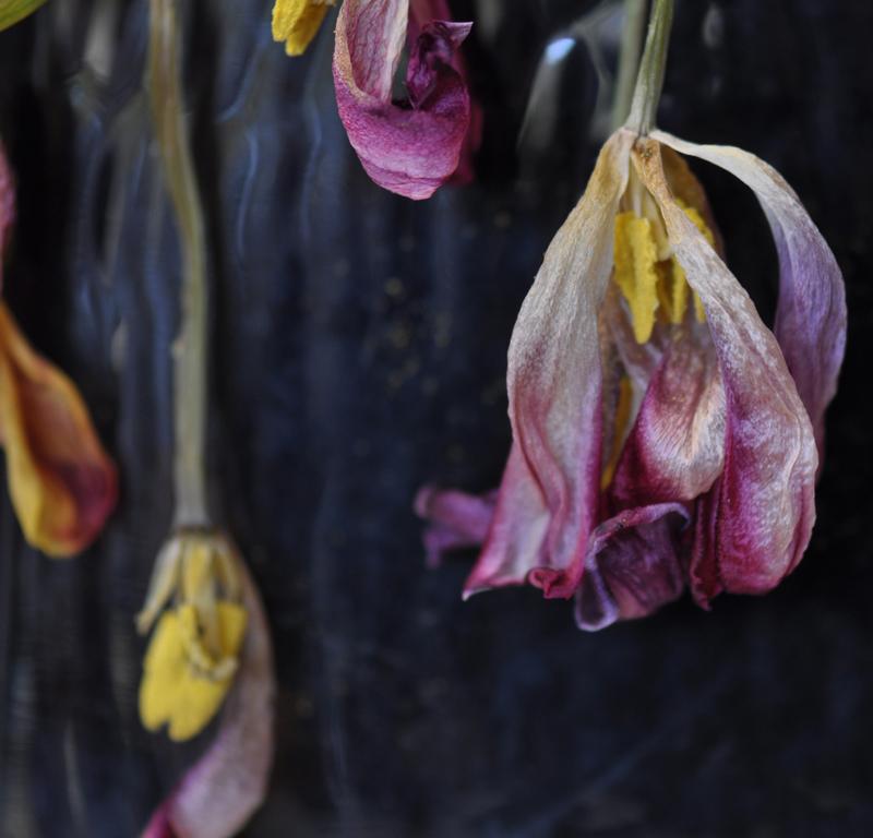 tulip series i
