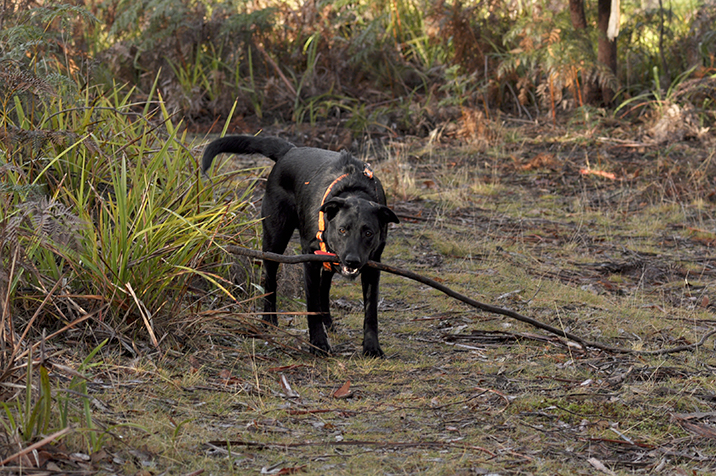 Monty with stick just before he runs away