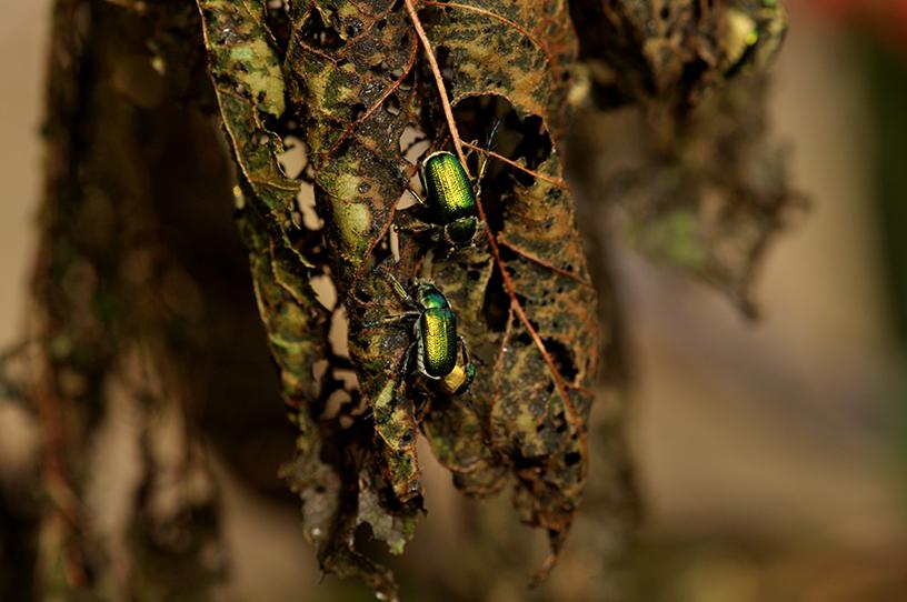 raspberry beetles 3