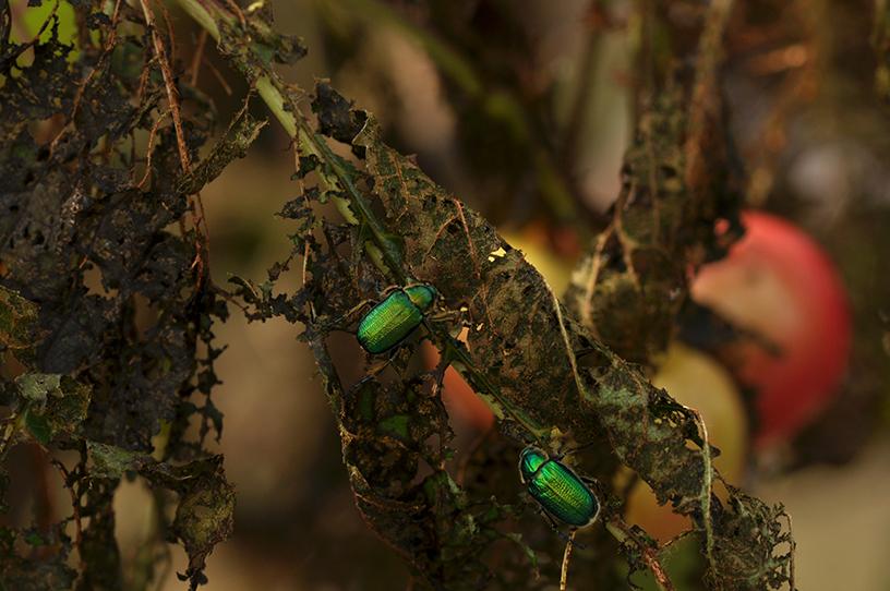 raspberry beetles 4