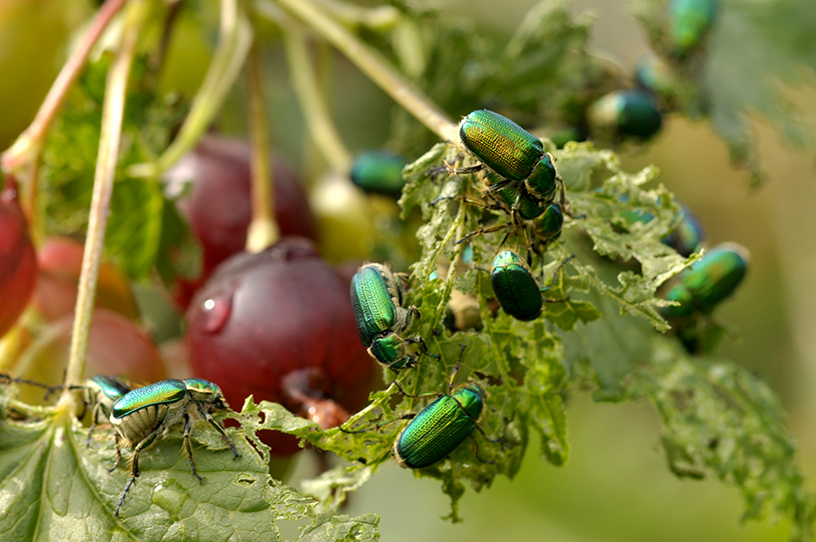 raspberry beetles 5