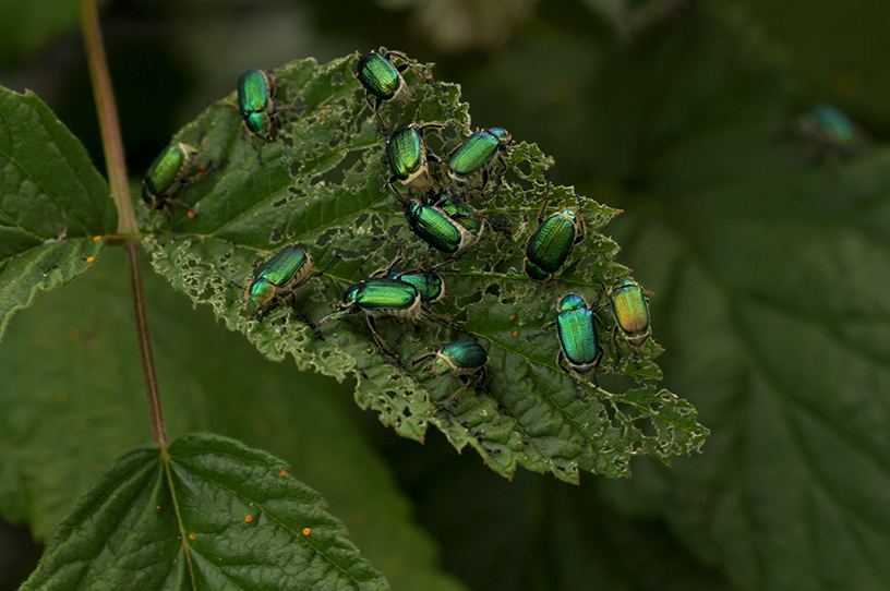 raspberry beetles