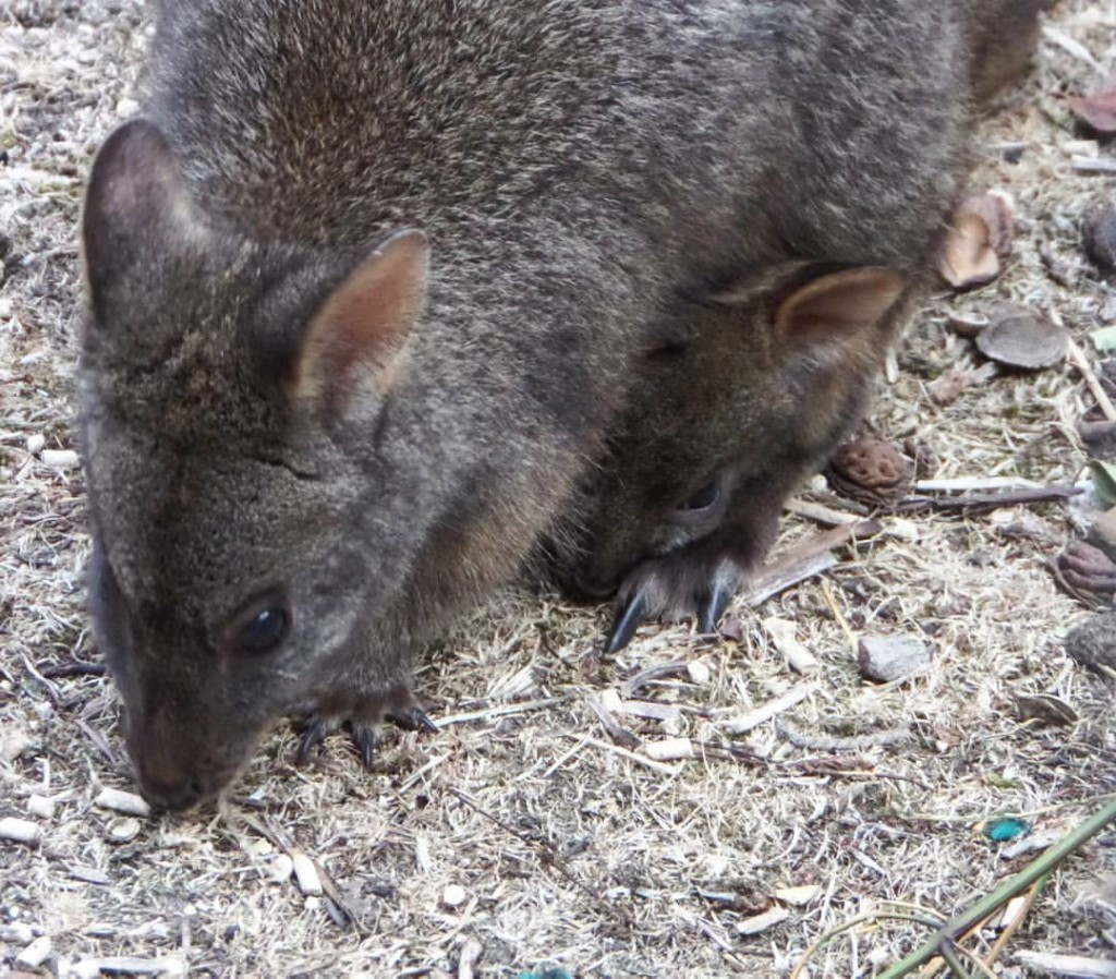 Wallaby with joey in her pouch