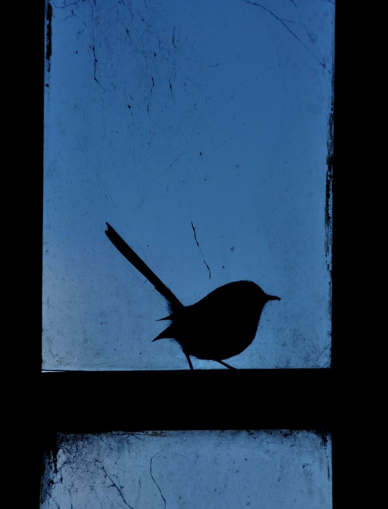 silhouette of a superb fairy wren